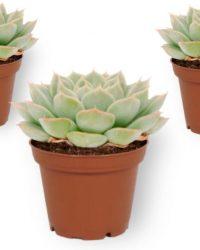 Set van 3 Vetplanten - Echeveria Subsessilis - ± 13cm hoog - 7cm diameter