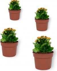 Set van 4 Bloeiende Kamerplanten - Kalanchoë met oranje bloemen- ± 10cm hoog - 7cm diameter