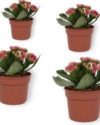 Set van 4 Bloeiende Kamerplanten - Kalanchoë met paarse bloemen- ± 10cm hoog - 7cm diameter