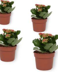 Set van 4 Bloeiende Kamerplanten - Kalanchoë met rode bloemen- ± 10cm hoog - 7cm diameter