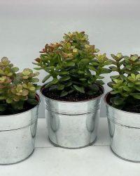 Succulent- Crassula Minor- zinken pot- 3 stuks- 12cmØ- ±16cm hoog