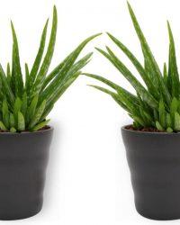 2x Aloe Vera Kamerplant - ± 30cm hoog - In zwarte pot