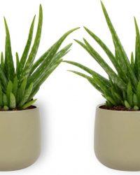 2x Kamerplant Aloë Vera - ± 25 cm hoog - 12cm diameter - in groene sierpot
