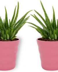 2x Kamerplant Aloë Vera - ± 25 cm hoog - 12cm diameter - in roze pot