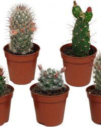 Bloeiende cactus mix | 5 stuks | Ø 5,5 cm | ↕ 8-13 cm