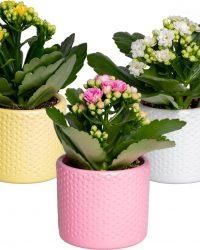 Kalanchoe garden lina | set van 3 stuks - Kamerplant in gestipte keramieken potjes ⌀7 cm - ↕12-15 cm