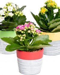 Kalanchoe garden lina | set van 3 stuks - Kamerplant in gestreept keramieken potjes ⌀7 cm - ↕12-15 cm