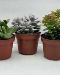 Succulenten mix- mix 3 succulenten- 12cmØ- ±15cm hoog- Crassula Ovata- Pachyphytum Oviferum- Crassula Minor