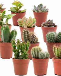 ZynesFlora | Mini Cactussen/Succulenten Mix - 12 Stuks - Ø 5,5 cm - ↕ Hoogte: 5-10 cm - Cactus - Vetplant - Succulent - Kamerplant - Cactus Cadeau - Succulent Cadeau
