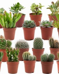 ZynesFlora | Mini Cactussen/Succulenten Mix - 18 Stuks - Ø 5,5 cm - ↕ Hoogte: 5-10 cm - Cactus - Vetplant - Succulent - Kamerplant - Cactus Cadeau - Succulent Cadeau