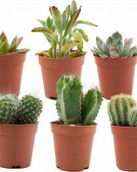 ZynesFlora | Mini Cactussen/Succulenten Mix - 6 Stuks - Ø 5,5 cm - ↕ Hoogte: 5-10 cm - Cactus - Vetplant - Succulent - Kamerplant - Cactus Cadeau - Succulent Cadeau
