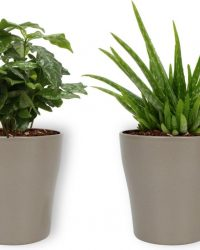 2 Kamerplanten - Aloe Vera & Koffieplant - In hippe zilveren pot - geen groene vingers nodig
