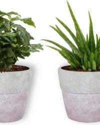 2 Kamerplanten - Aloe Vera & Koffieplant - In lila betonnen pot -geen groene vingers nodig