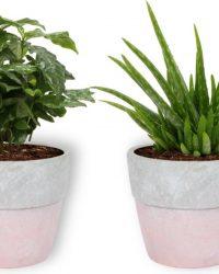 2 Kamerplanten - Aloe Vera & Koffieplant - In roze pot -geen groene vingers nodig