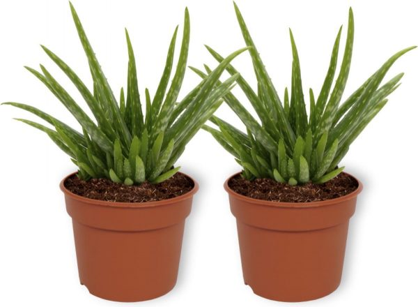 2x Aloe Vera Kamerplant - ± 30cm hoog - 12cm diameter