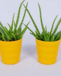 2x Aloe Vera Kamerplant - ± 30cm hoog - In gele bloempot