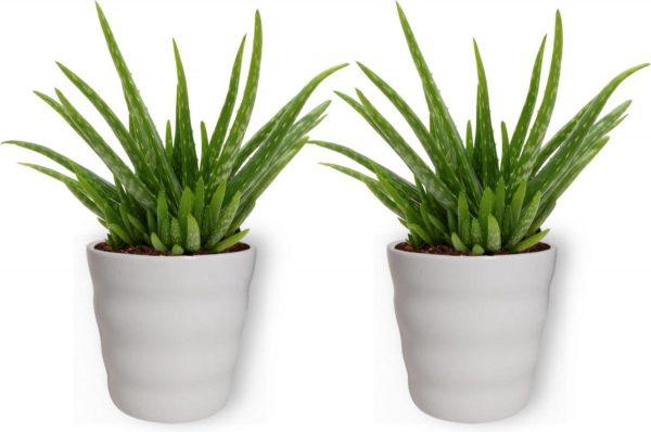 2x Aloe Vera Kamerplant - ± 30cm hoog - In wit bloempot