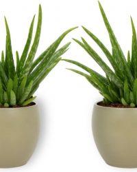 2x Kamerplant Aloë Vera - ± 25 cm hoog - 12cm diameter - in groene pot