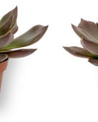 2x Kamerplant Echeveria Echoc - 10cm hoog - 7cm diameter