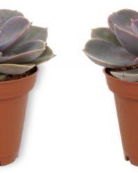 2x Kamerplant Echeveria Pearl of Neurenberg - ± 15cm hoog - 7cm diameter