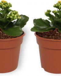 2x Kamerplant Kalanchoë Perfecta - met gele bloemen - ± 10cm hoog - 7cm diameter
