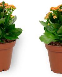 2x Kamerplant Kalanchoë Perfecta - met oranje bloemen - ± 10cm hoog - 7cm diameter