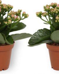 2x Kamerplant Kalanchoë Perfecta - met roze bloemen - ± 10cm hoog - 7cm diameter