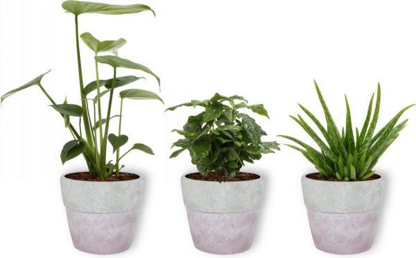 3 Kamerplanten - Aloe Vera, Monstera & Koffieplant - In lila betonnen pot -geen groene vingers nodig