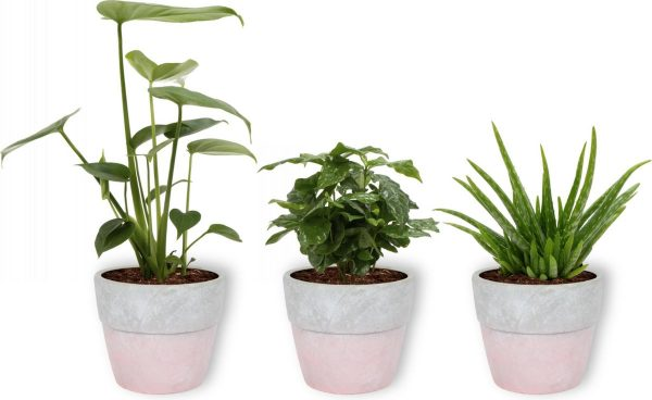 3 Kamerplanten - Aloe Vera, Monstera & Koffieplant - In witte betonnen pot -geen groene vingers nodig