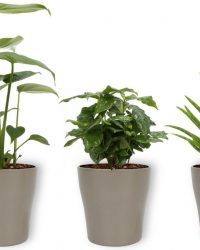 3 Kamerplanten - Aloe Vera, Monstera & Koffieplant - In zilveren pot -geen groene vingers nodig