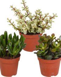 3x Vetplanten mix - Succulenten - Crassula - ↑12-15 cm - Ø 9 cm