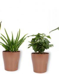 4 Kamerplanten - Aloe Vera, Monstera, Sansevieria & Koffieplant - met koperkleurige pot geleverd