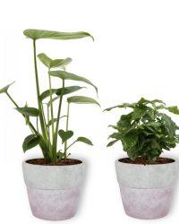 4 Kamerplanten - Aloe Vera, Monstera, Sansevieria & Koffieplant - met lila betonnen pot geleverd
