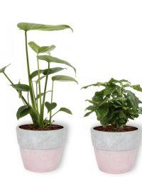 4 Kamerplanten - Aloe Vera, Monstera, Sansevieria & Koffieplant - met roze betonnen pot geleverd