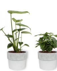 4 Kamerplanten - Aloe Vera, Monstera, Sansevieria & Koffieplant - met witte betonnen geleverd