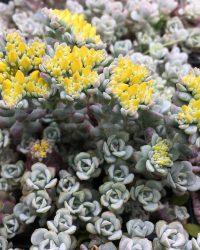 6 x Sedum spathulifolium 'Cape Blanco' - Vetkruid - P9 Pot (9 x 9cm) - Dima Vaste Planten