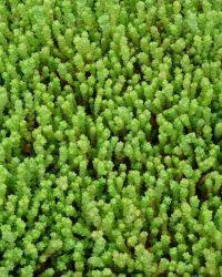 6x Muurpeper (Sedum acre) - P9 pot (9x9)