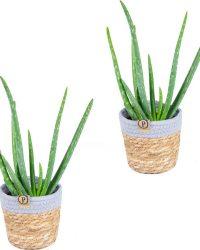 Aloe Vera 2x in sierpot | Kamerplant in sierpot ⌀12 cm - ↕25-35 cm