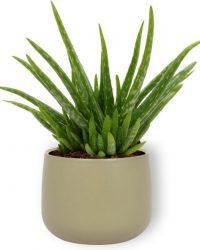 Aloe Vera Kamerplant - ± 30cm hoog - 12cm diameter - in groene sierpot