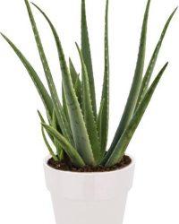 Aloe Vera plant in Elho