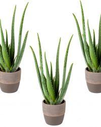 Aloe vera | per 3 stuks - kamerplant in donkergrijze keramieke pot ⌀12 cm - ↕25-35 cm