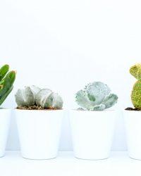 Cactus en vetplanten mix in sierpot clearly white 9,5cm