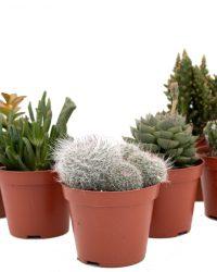 Cactus interieur complete deal pot Ø8,5cm cactus en vetplant mix