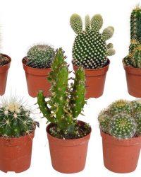 Cactus mix | 10 stuks | Ø 5,5 cm | ↕ 8-13 cm