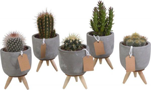 Cactus mix in betonpot op 3 pootjes | 5 stuks | Ø 7,5 cm | ↕ 11-16 cm