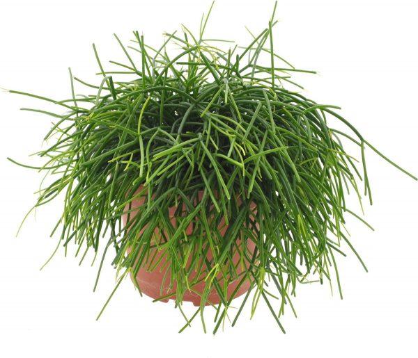Cactus van Botanicly - Rhipsalis baccifera cashero - Hoogte: 25 cm
