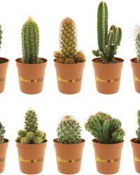 Desertworld Mini Cactussen Mix - 10 stuks - Ø 6 cm - Hoogte 8-15 cm