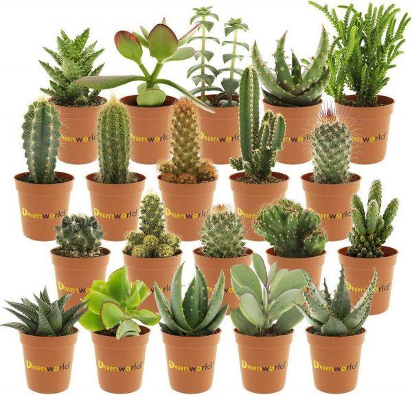 Desertworld Mini Cactussen en Vetplantjes Mix - 20 stuks - Ø 6 cm - Hoogte 8-15 cm