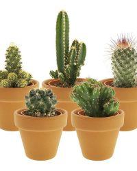 Desertworld Mini Cactussen in terracotta potjes - 5 stuks - Ø 6 cm - Hoogte 8-15 cm