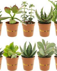 Desertworld Mini Vetplanten / Succulenten Mix - 10 stuks - Ø 6 cm - Hoogte 8-15 cm